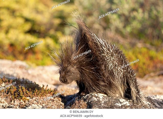 Porcupine, Erethizon dorsata, Hudson bay, Nunavik, Quebec, Canada