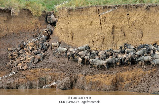 Herds of Western white-bearded wildebeest (Connochaetes taurinus mearnsi) on muddy riverbank, Mara Triangle, Maasai Mara National Reserve, Narok, Kenya, Africa