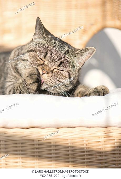 British shorthair cat lying in wicker chair licking paw with closed eyes. Peaceful and resting pet