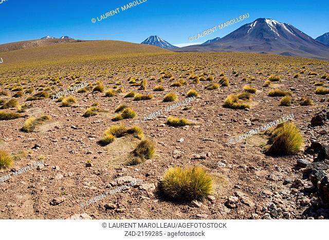 Paja brava (Festuca orthophylla) Altiplano plant (Family : Poaceae), Cerro Chiliques (5,778 m) and Cerro Miscanti (5,622 m), Laguna Miscanti, Salar de Atacama
