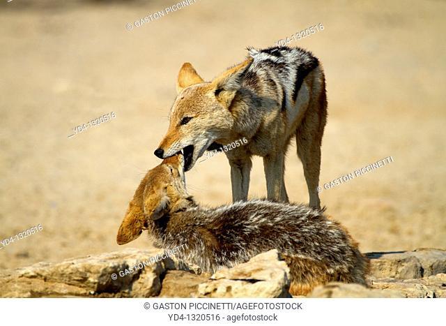 Black-backed Jackal Canis mesomelas, playing, Mabuasehube, Kgalagadi Transfrontier Park, Kalahari desert, Botswana