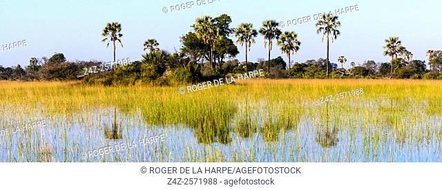 Scenic view of the Okavango Delta with typical Real fan palm or Makalani palm (Hyphaene petersiana). Botswana