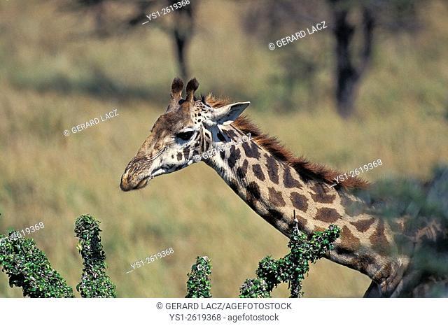 Masai Giraffe, giraffa camelopardalis tippelskirchi, Masai Mara Park in Kenya