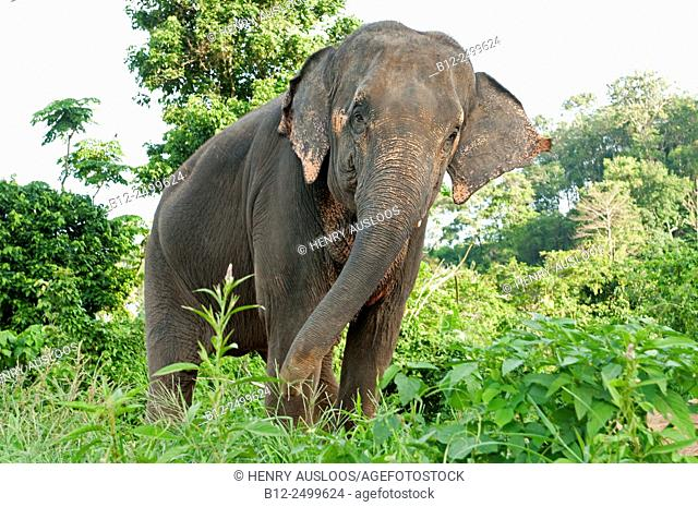 Asian Elephant (Elephas maximus) - Thailand