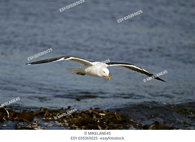 Kelp gull or Dominican gull, Larus dominicanus, single bird in flight, Falklands
