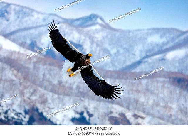 Mountain winter scenery with bird. Steller's sea eagle