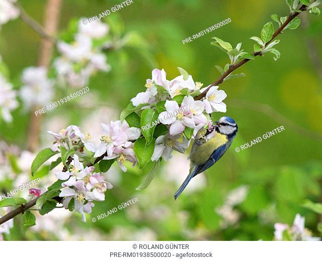 Blue tit in a blooming apple tree, Cyanistes caeruleus, Germany, Europe / Blaumeise in einem blühenden Apfelbaum bei der Nahrungssuche, Cyanistes caeruleus
