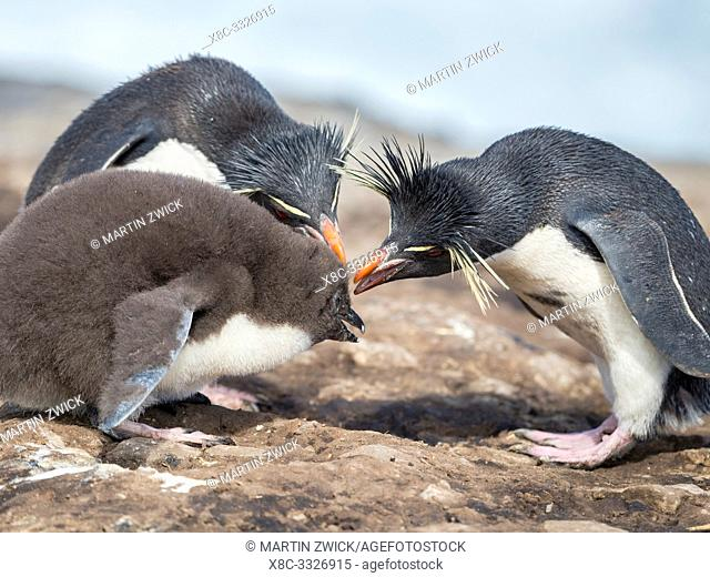 Chick with adult on Bleaker Island. Rockhopper Penguin (Eudyptes chrysocome), subspecies Southern Rockhopper Penguin (Eudyptes chrysocome chrysocome)