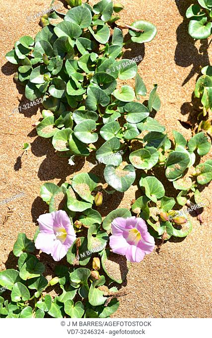 Beach morning glory or shore bindweed (Calystegia soldanella or Convolvulus soldanella) is a perennial vine native to beach sand habitats in temperate regions...