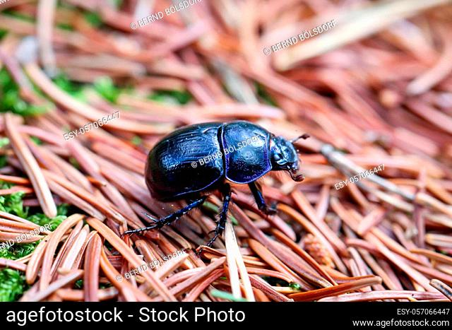 A close-up of a wood dung beetle (Anoplotrupes stercorosus) in the forest