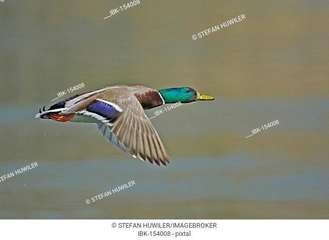 Mallard drake (Anas platyrhynchos) flying