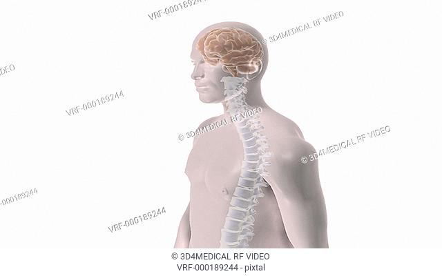 Animation depicting the brain and spinal column within the human body. The camera zooms into the brain and then zooms back out again