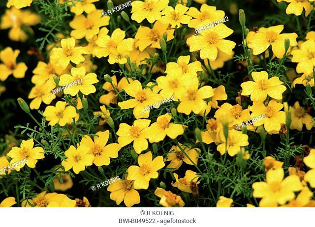 Lemon marigold, Signet marigold Tagetes tenuifolia, Tagetes signata, cultivar Lulu, blooming