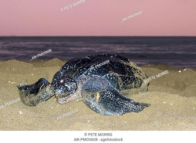 Adult female Leatherback sea turtle (Dermochelys coriacea) on a sandy beach on an island in the Caribbean laying her eggs