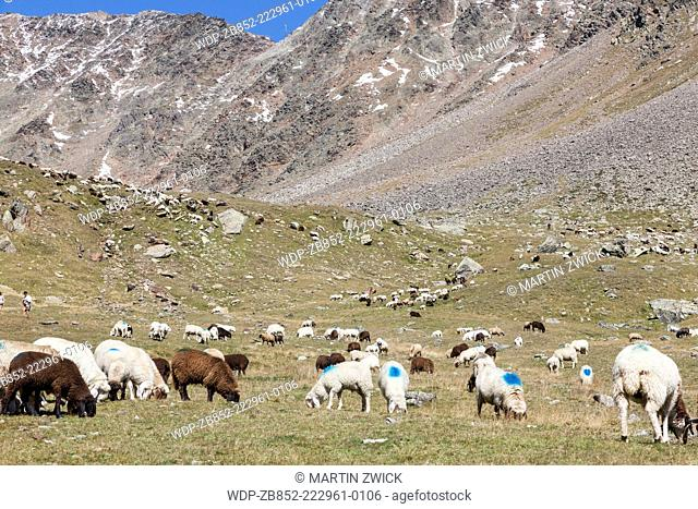 Transhumance - the great sheep trek across the main alpine crest in the Oetztal Alps between South Tyrol, Italy, and North Tyrol, Austria