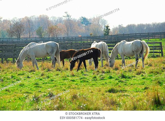 Horses on a ranch - white mares with brown colts