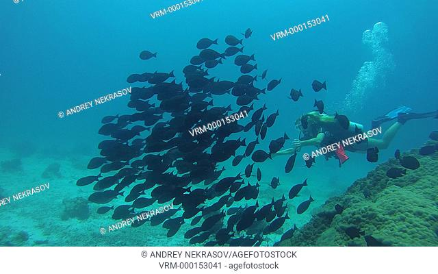 A young scubadiver woman swimming in the School of Fish Humpback Red Snapper (Lutjanus gibbus) flock of black-tailed swims near the coral reef, Indian Ocean