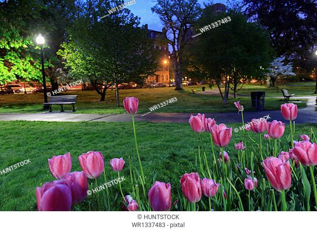 Tulips in the Boston Public Garden with Arlington Street and Back Bay in the background, Boston, Massachusetts, USA