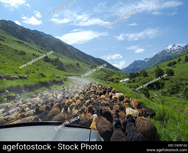 Sheep drive to their high altitude summer pasture. National Park Besch Tasch in the Talas Alatoo mountain range, Tien Shan or Heavenly Mountains