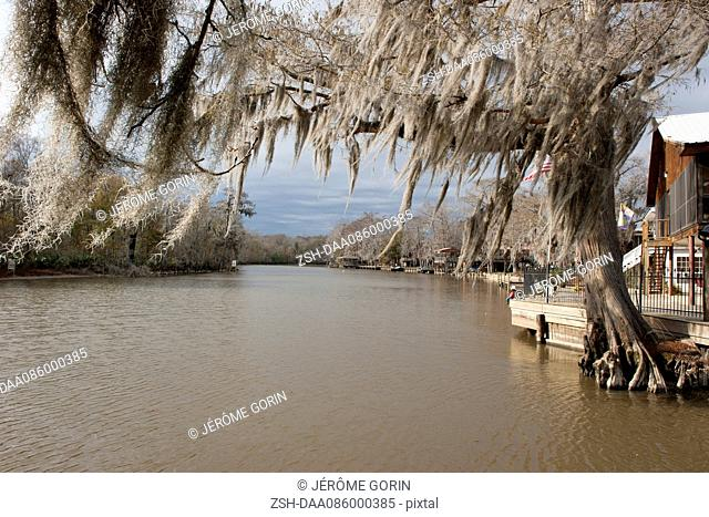 Spanish moss growing on cypress tree along river