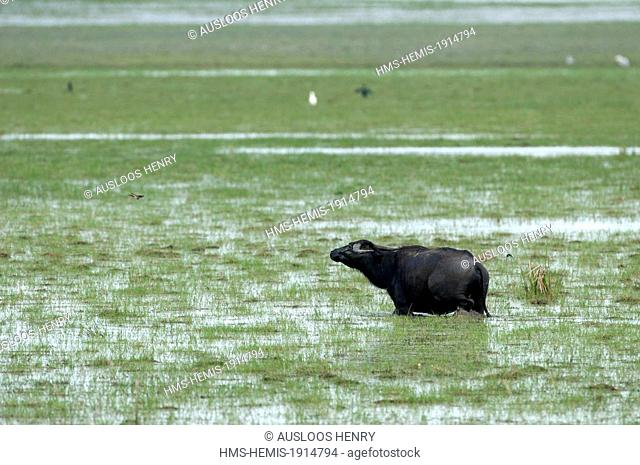 Thailand, Thale Noi, Water Buffalo (Bubalus bubalis)