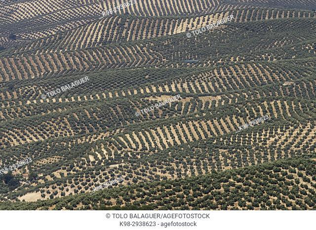 Olive trees, parque natural sierras de Cazorla, Segura y Las Villas, Jaen, Andalucia, Spain
