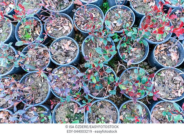 Top view of many Photinia serratifolia or Photinia serrulata which grow in pots for sale in a greenhouse