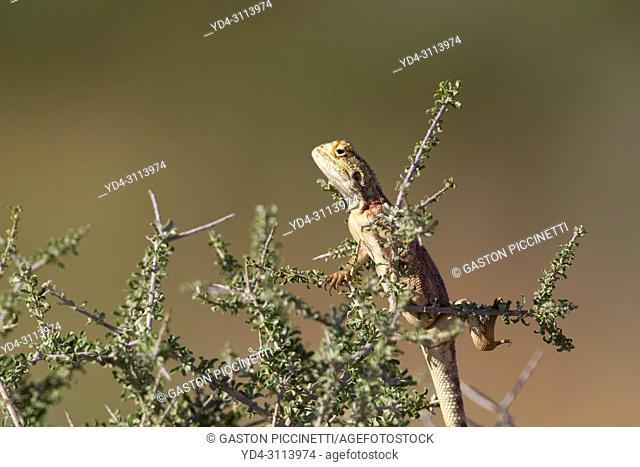 Ground agama (Agama aculeta), Kgalagadi Transfrontier Park, Kalahari desert, South Africa/Botswana