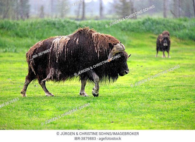 Musk Ox or Muskox (Ovibos moschatus), adult, Alaska Wildlife Conservation Center, Anchorage, Alaska, United States