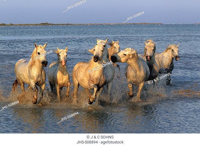 Camargue Horse,Equus caballus,Saintes Marie de la Mer,France,Europe,Camargue,Bouches du Rhone,group of horses galloping in water