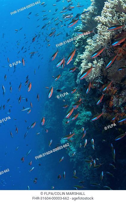 Bluestreak Fusilier Pterocaesio tile adults, shoal swimming in reef, Tutuntute, Wetar Island, Barat Daya Islands, Lesser Sunda Islands, Maluku Province
