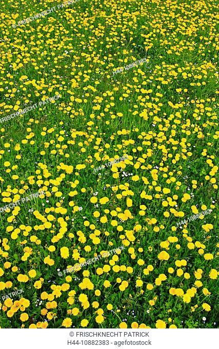 Flowers, flower field, flower meadow, blossom, flourish, smell, field, spring, feed, half half, hay, half, agriculture, dandelion, pattern, sample, nature, cut