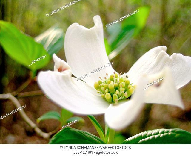 Flowering Dogwood (Cornus florida) bloom, early Spring. Appalachian foothills, Southeast Ohio, USA