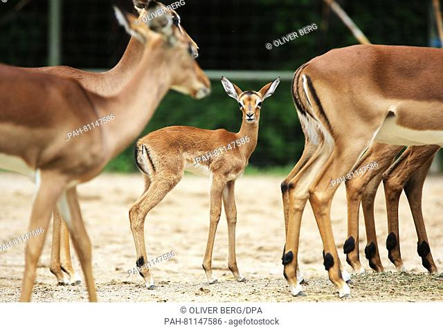 A newborn impala (C) stands next to adult specimen in an enclosure at the zoo inCologne, Germany, 02 June 2016. The baby impala was born in late May