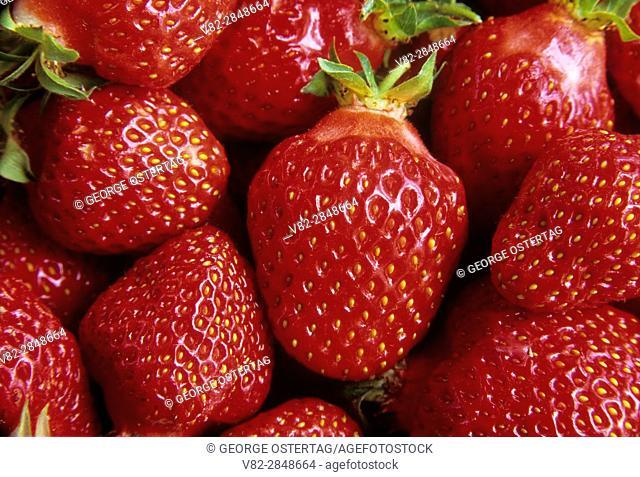 U-pick Hood strawberries, Marion County, Oregon