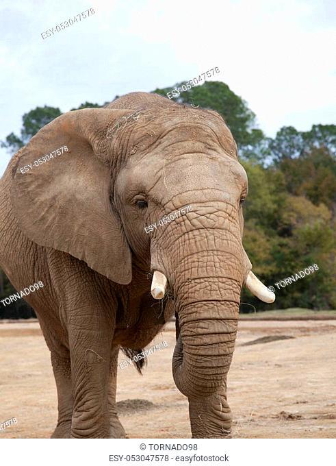 African savanna elephant (Loxodonta africana africana) eating hay