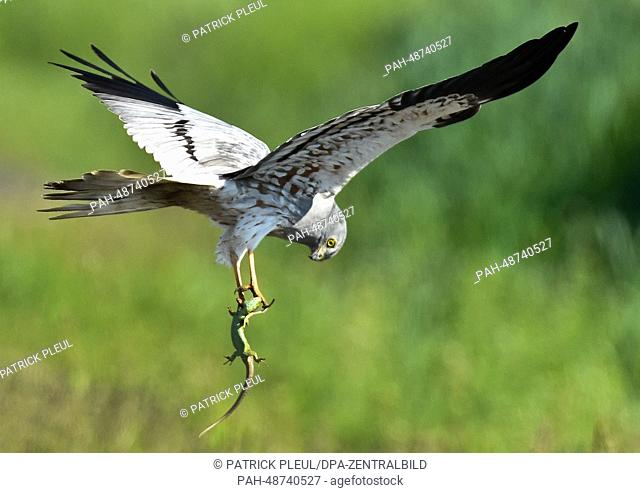 A Montagu's Harrier (Circus pygargus) has caught as lizard in a meadow near Mallnow, Germany, 20 May 2014. Photo: Patrick Pleul/dpa | usage worldwide