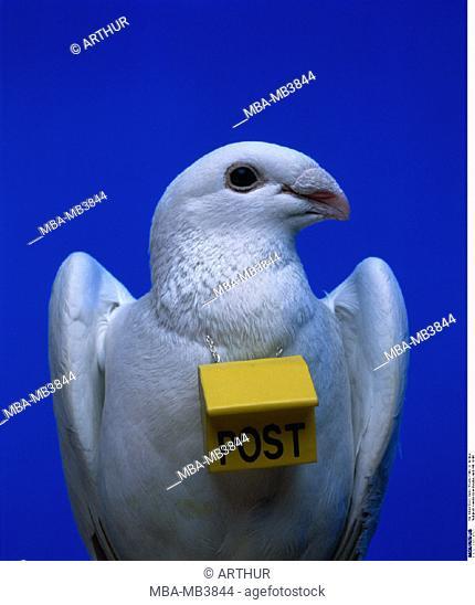 Pigeon, Carrier pigeon
