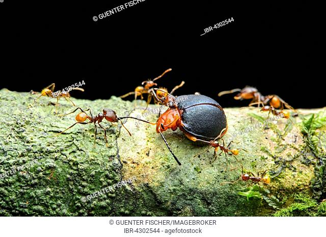 Ant (Pheidole sp.), worker attacking a fungus beetle (Endomychidae), Amazon rainforest, Yasuni National Park, Ecuador