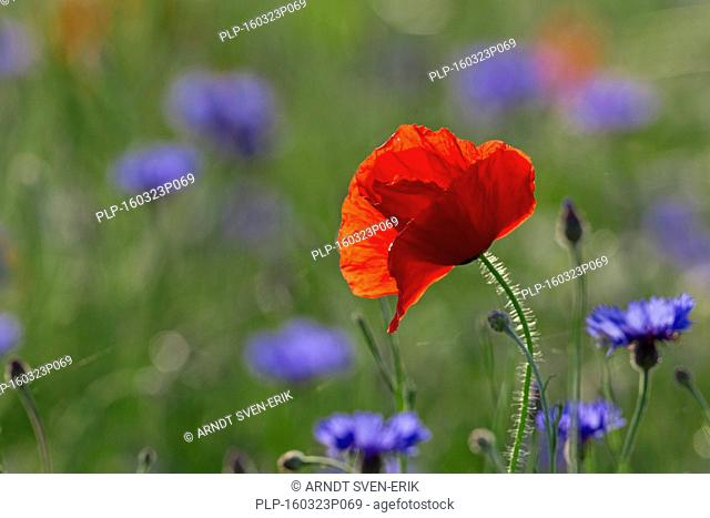 Corn poppy / red poppies (Papaver rhoeas) and cornflowers / bluebottles (Centaurea cyanus) flowering in meadow in summer
