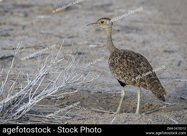 A red-crested korhaan or red-crested bustard (Lophotis ruficrista) in the Ongava Game Reserve, south of the Etosha National Park in northwestern Namibia