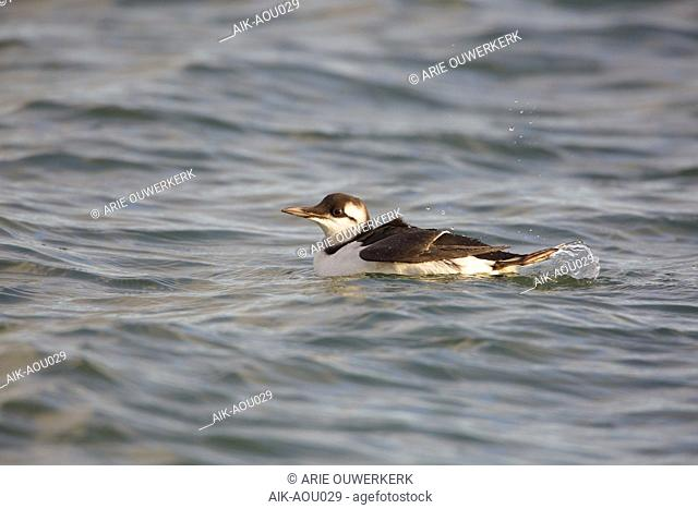 Common Guillemot (Uria aalge) swimming in the harbour of Wadden Isle Terschelling, Netherlands