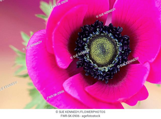 Anemone, Poppy windflower, Anemone coronaria 'De Caen', Single intensly coloured pink flower