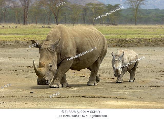 White Rhinoceros Ceratotherium simum adult female with calf, walking, Nakuru, Kenya