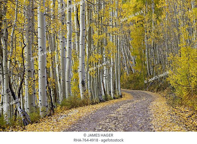 Dirt road through yellow aspen in the fall, Uncompahgre National Forest, Colorado, United States of America, North America