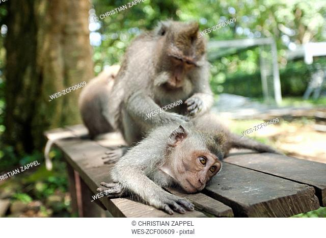 Indonesia, Bali, Sacred Monkey Forest, long tailed macaques