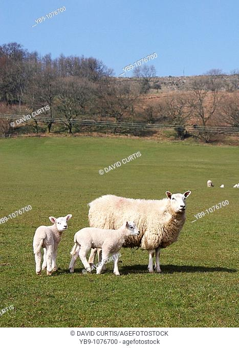 Sheep with Lambs in a field in south Wales, UK