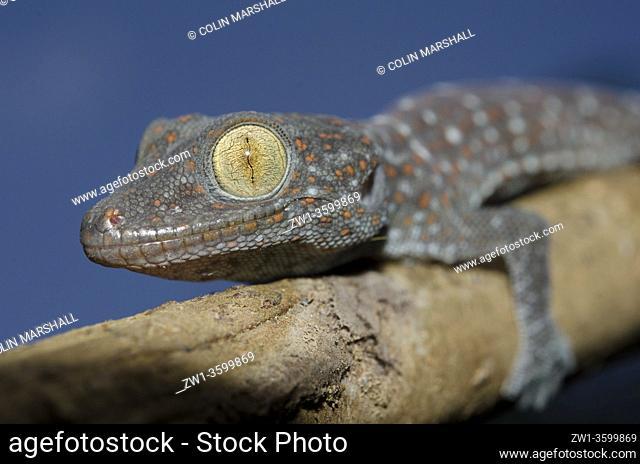 Tokay Gecko (Gekko gecko), Klungkung, Bali, Indonesia