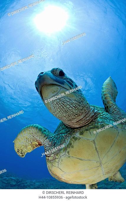 10855936, Green Turtle, Chelonia mydas, Hawaii, US