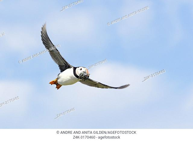 Atlantic puffin (Fratercula arctica) flying with caught fish, Farne Islands, Northumberland, England, UK